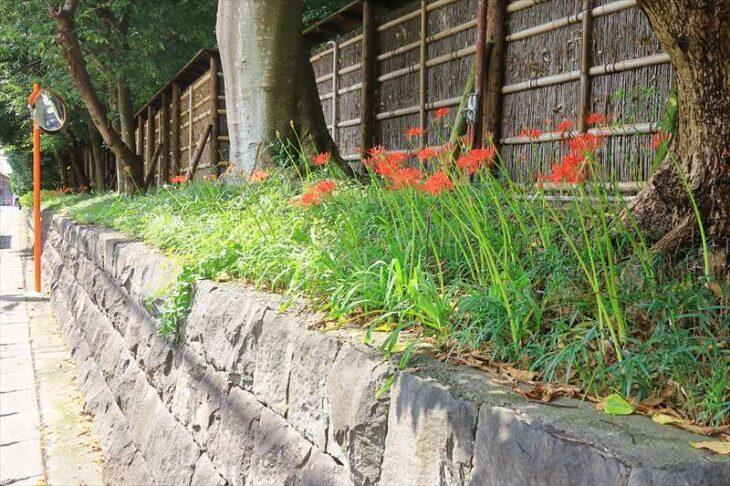 築山稲荷社のある通りの彼岸花